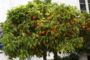 Naranjas y azahar