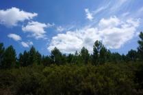 Brezos y pinos